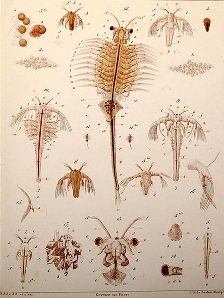 bHistoire_d'un_petit_crustace_(Artemia_salina,_Leach)_-_N._Joly_(1840)_-_PL._I_-_BioDivLibrary_page_37158880.jpg
