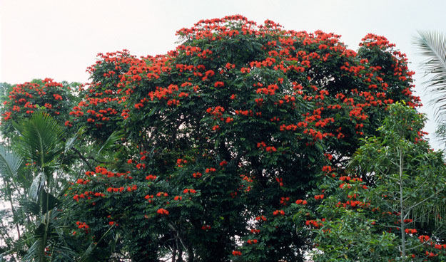 bAfrican-turip-tree.jpg